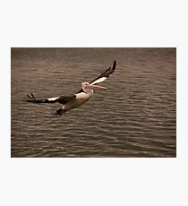 Pelican Glide Photographic Print