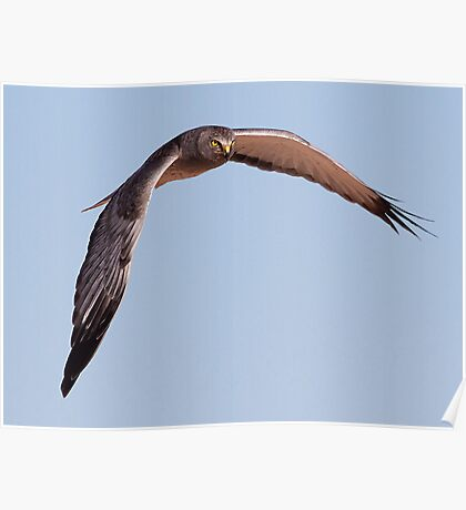 Northern Harrier (Male) Poster