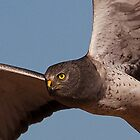 Northern Harrier (Up Close) by Marvin Collins