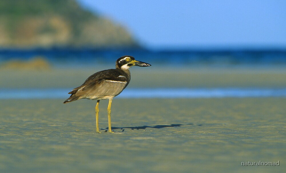 Beach Stone-curlew by naturalnomad