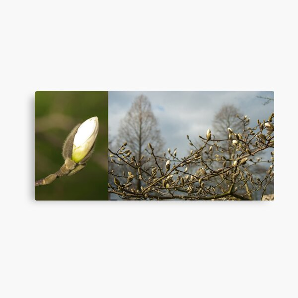 Budding Magnolia diptych Canvas Print