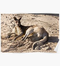 Kangaroo on the golf course Poster