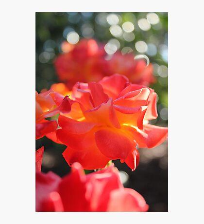 Sunset Roses Photographic Print