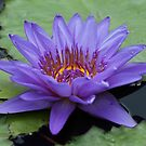 Purple Lilly! by jozi1