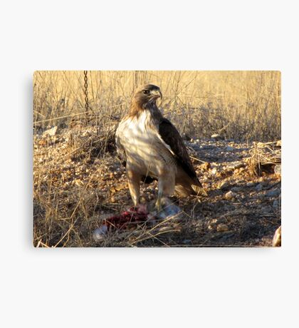 Red-tailed Hawk ~ Dinner for One Canvas Print