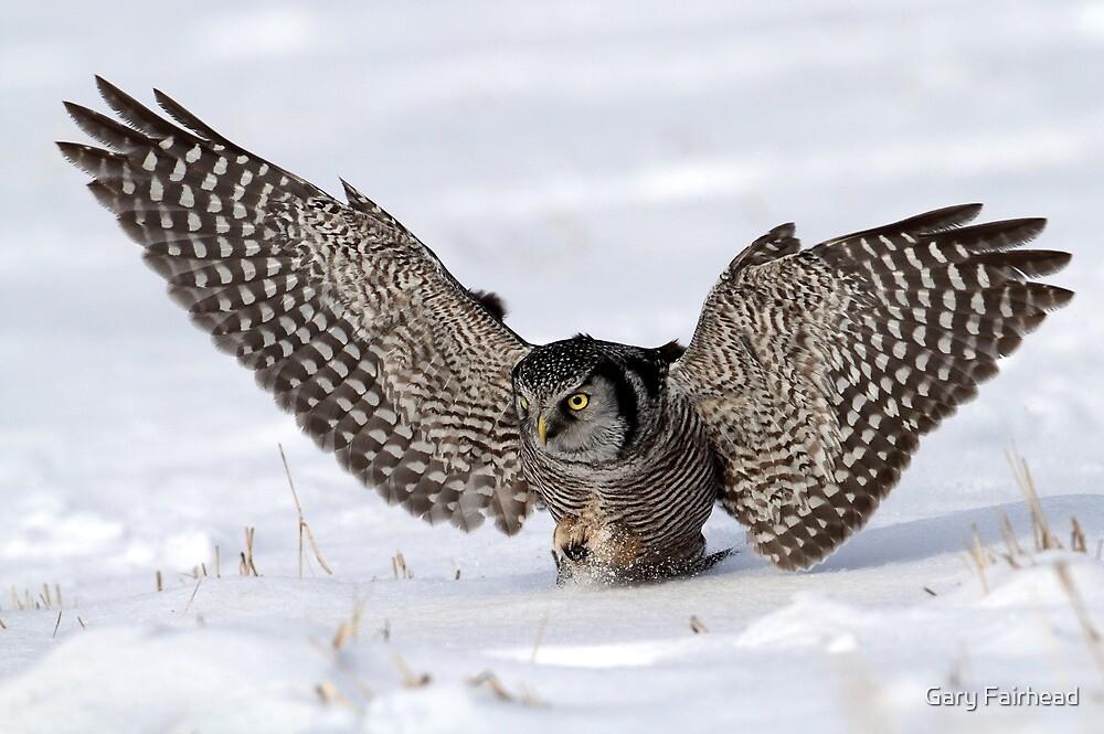 Wings Wide Open Northern Hawk Owl By Gary Fairhead Redbubble