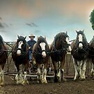 Six Working Clydesdales - Gippsland,Victoria by Bev Pascoe