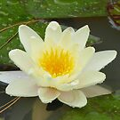 Water Lily by Natalie Cooper
