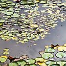Water lily pads by Adriano Carrideo