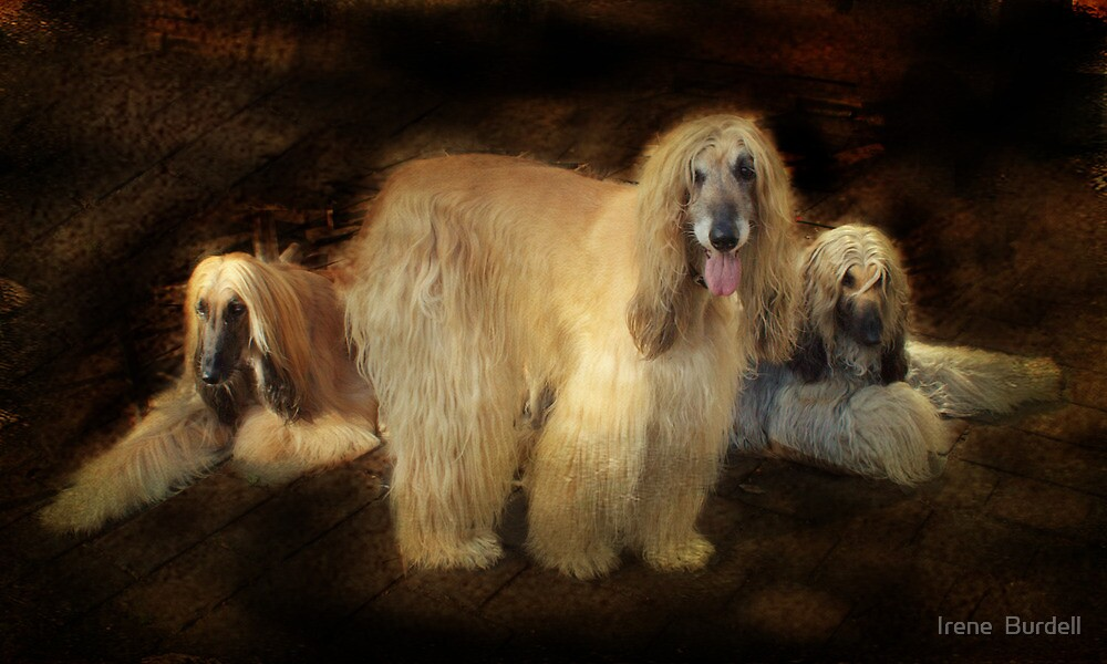Afghan Hounds. by Irene  Burdell