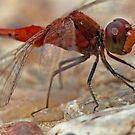 Unshaved Blushing Dragonfly by Lincoln Stevens