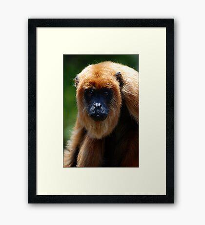 Bolivian Red Howler Monkey (Alouatta sara) - Bolivia Framed Print