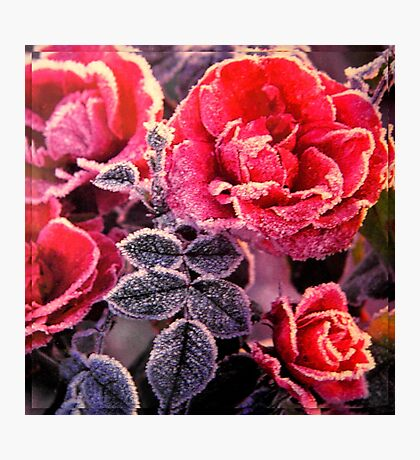 Christmas Roses  Photographic Print