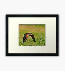 Harris's Hawk in flight Framed Print