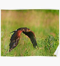 Harris's Hawk in flight Poster