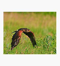 Harris's Hawk in flight Photographic Print