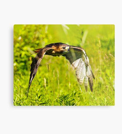 Red-tailed Hawk Metal Print