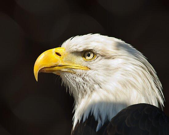 Bald Eagle by Cycroft