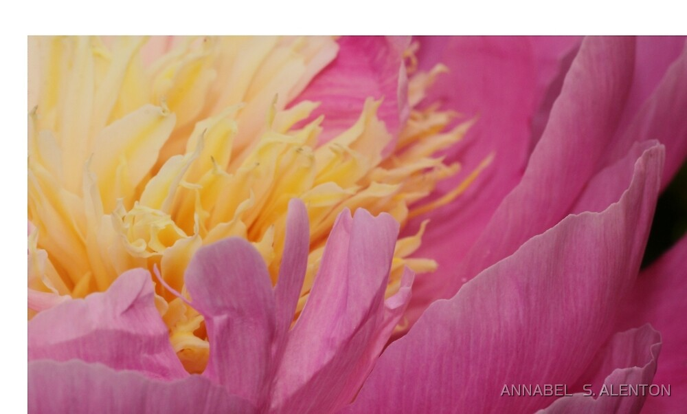 peony up close by ANNABEL   S. ALENTON