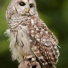 Barred Owl by Cycroft