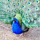 Male peacock by Jackie Popp