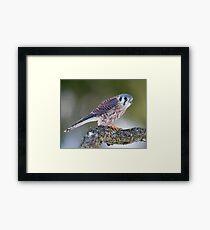 American Kestrel Framed Print