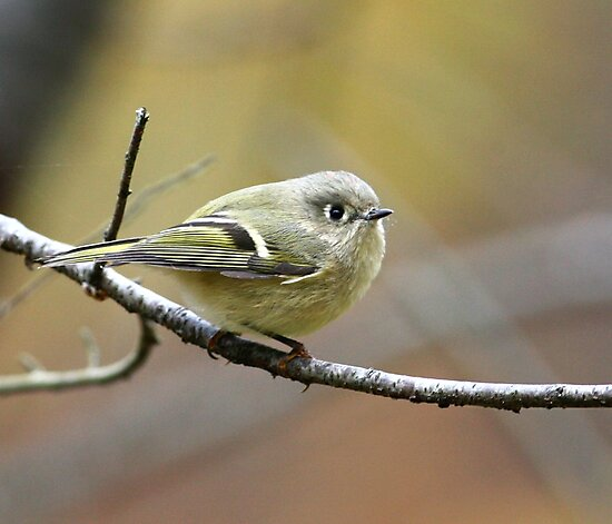 Kinglet by Enola Wagner