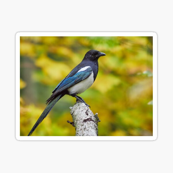 Eurasian magpie pose with colors of Fall Sticker