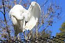 Great Egret Preening by AuntDot