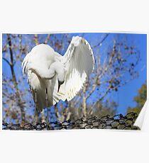 Great Egret Preening Poster