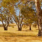 Eucalyptus Trees, Wilpena, Flinders Ranges NP, SA. by johnrf