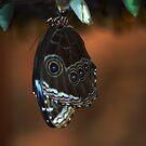 Blue Morpho - Morpho peleides (ventral) by jules572