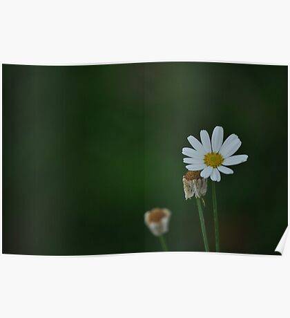 Daisy in green Poster