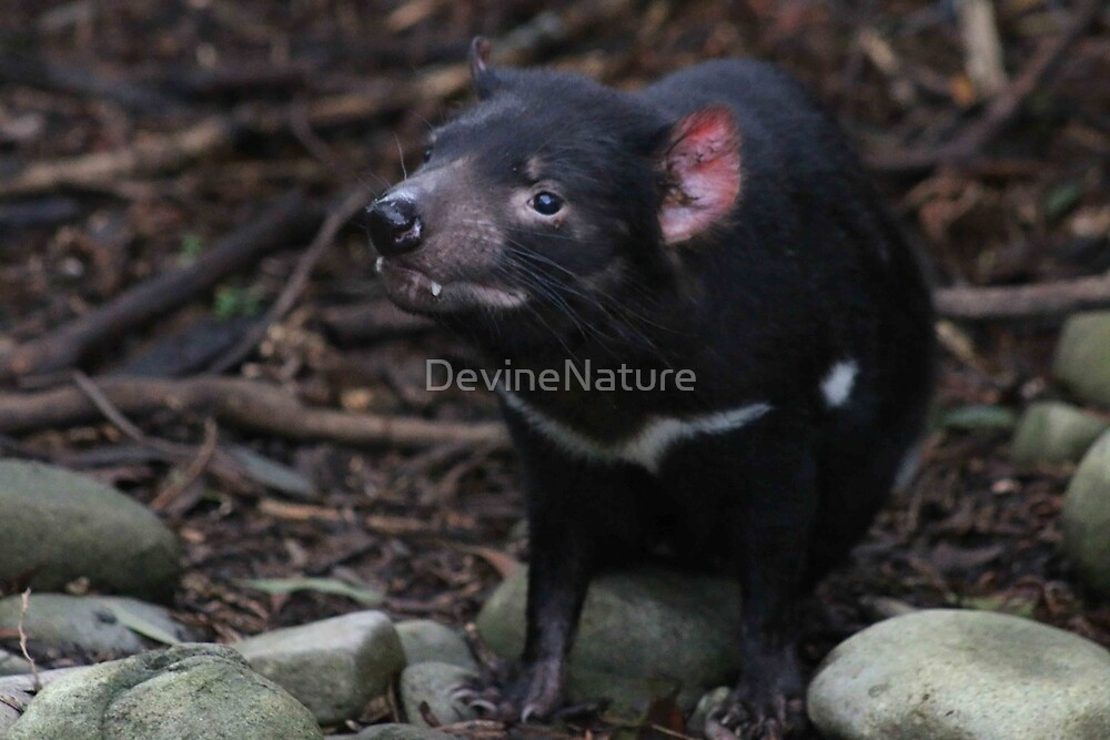 Australian Tasmanian Devil by DevineNature