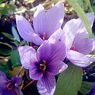 Safran-Blüten von Gourmetkater