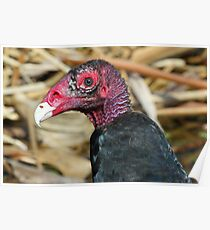 Turkey vulture-ugly face but pretty colors! Poster