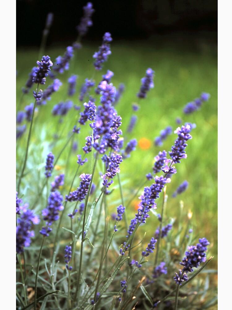 Der Lavendel von Gourmetkater