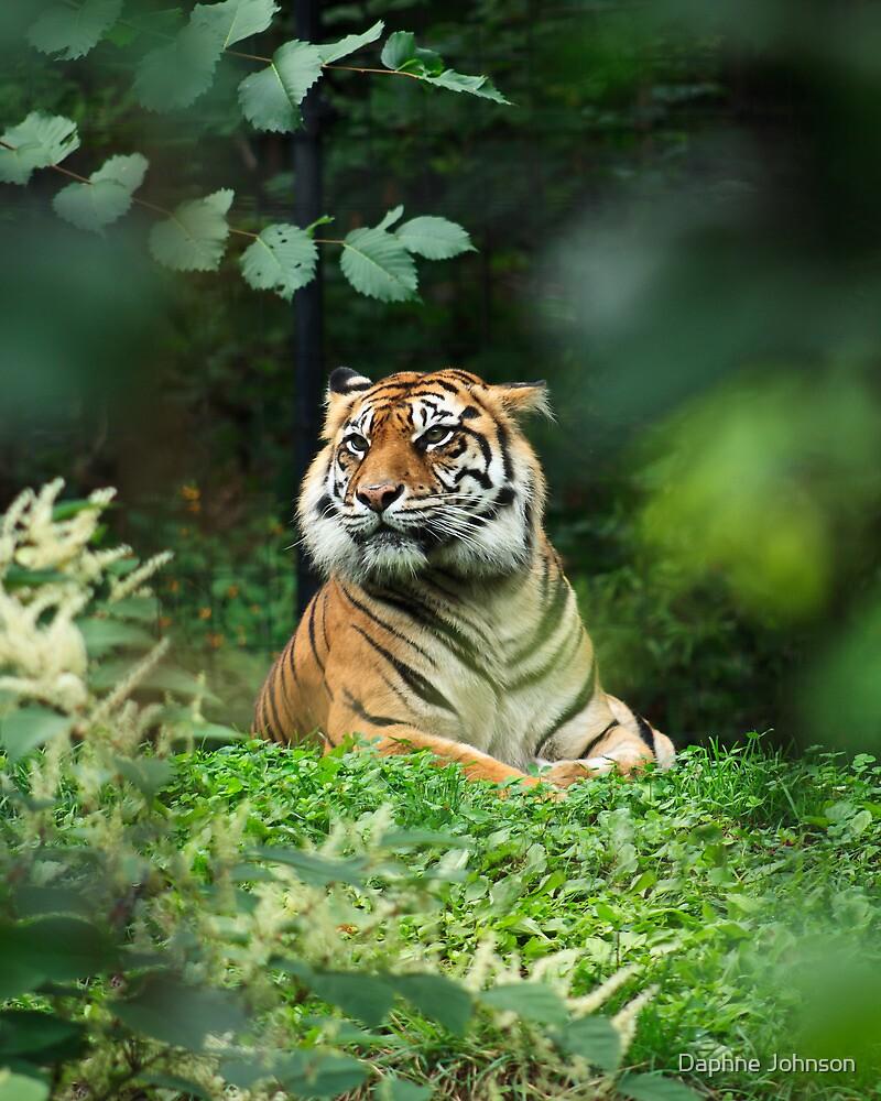 Tiger by Daphne Johnson