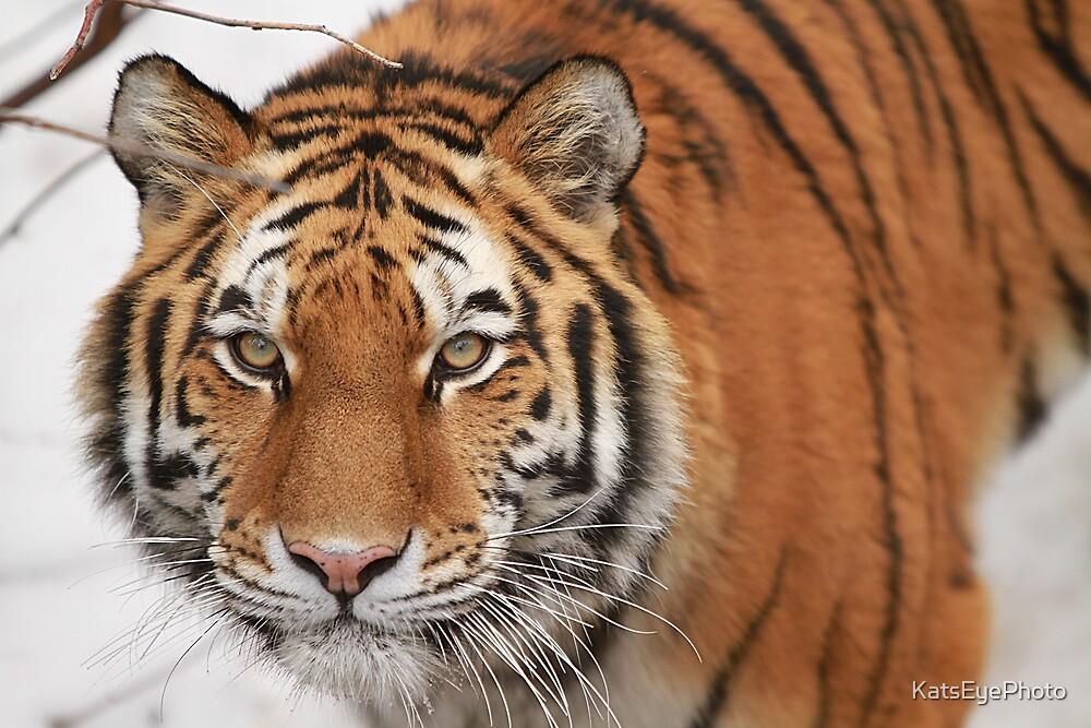 Tiger by KatsEyePhoto