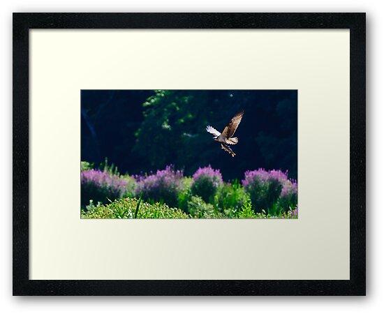 Osprey fishing by Cycroft
