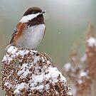 Chickadee auf Snowy Branch im Winter von Peggy Collins