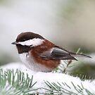 Chickadee im Schnee auf einer Kiefer von Peggy Collins