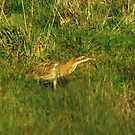 BITTERN by Russell Couch