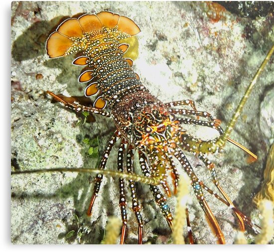 Caribbean Spotted Lobster by Amy McDaniel