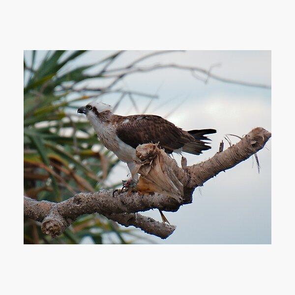 SC ~ WO ~ RAPTOR ~ Eastern Osprey by David Irwin 131019 Photographic Print