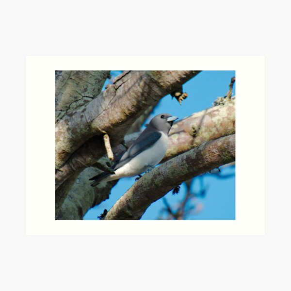 SC ~ WO ~ SWALLOW ~ White-breasted Woodswallow CSWNJCCS by David Irwin 131019 Art Print
