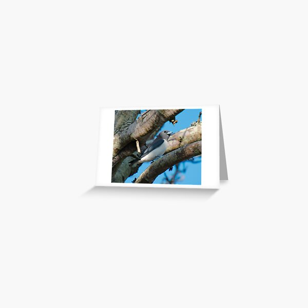SC ~ WO ~ SWALLOW ~ White-breasted Woodswallow by David Irwin 131019 Greeting Card