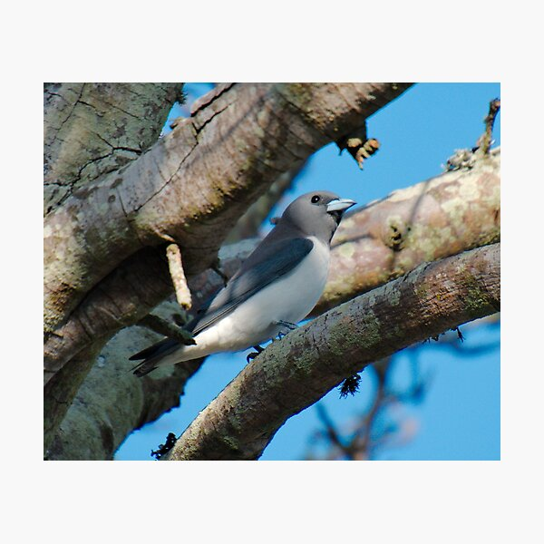 SC ~ WO ~ SWALLOW ~ White-breasted Woodswallow by David Irwin 131019 Photographic Print