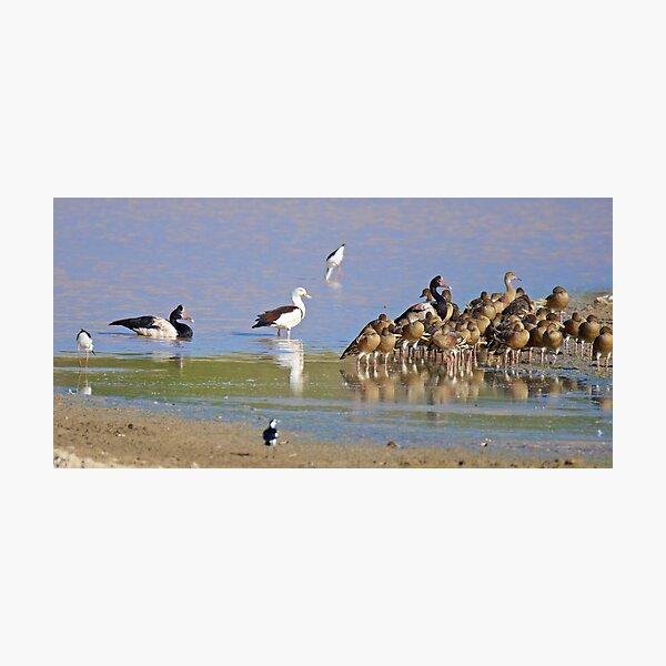 NT ~ WATERFOWL ~ Magpie Goose CCHJJSBL, Radjah Shelduck, Black-winged Stilt, Plumed Whistling-Duck by David Irwin 131019 Photographic Print
