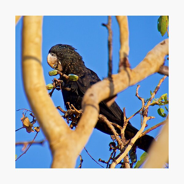 NT ~ PARROT ~ Red-railed Black Cockatoo 2 by David Irwin 131019 Photographic Print